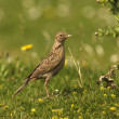 Skylark, Alauda arvensis, — Stock Photo