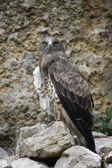Short-toed eagle, Circaetus gallicus — Foto de Stock