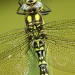 Southern hawker or aeshna, Aeshna cyanea — Stock Photo