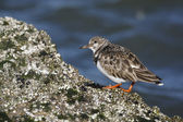 Turnstone, Arenaria interpres — Стоковое фото