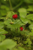 Wild strawberry, Fragaria vesca — Stock Photo