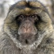 Barbary ape or macaque, Macaca sylvanus — Stock Photo