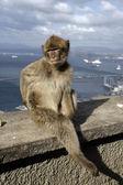 Barbary ape or macaque, Macaca sylvanus — Stock Photo
