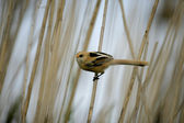 Bearded reedling, Panurus biarmicus — Stock Photo