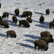 Bison, Bison bison, — Stock Photo