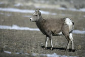 Big horn sheep, Puma concolor — Stockfoto