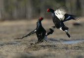 Black grouse, Tetrao tetrix, — Stock Photo
