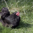 Stock Photo: Black pekin