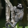 Black tufted-ear marmoset, Callithrix penicillata — Stock Photo