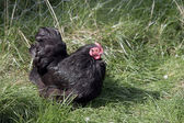 Black pekin — Stock Photo