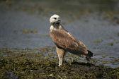 Black-collared hawk, Busarellus nigricollis — Photo