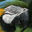 Blue-and-yellow macaw, Ara ararauna — Stock Photo