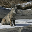 Stock Photo: Bobcat (blue)