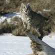 Bobcat (blue) — Stock Photo