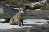 Bobcat (blue) — Foto de Stock