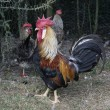 Stock Photo: Brown leghorn