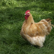 Stock Photo: Buff orpington