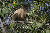 Brown capuchin or black-striped capuchin or bearded capuchin, Cebus libidinosus — Foto Stock
