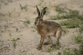 Brown hare, Lepus europaeus, — Stock Photo