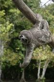 Brown-throated three-toed sloth, Bradypus variegatus — Stock Photo