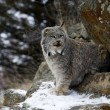 Canadian lynx, Lynx canadensis — Stock Photo