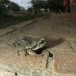 Cane toad, Bufo marinus — Stock Photo #33760629