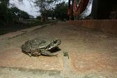Cane toad, Bufo marinus — Stock Photo