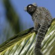 Common marmoset, Callithrix jacchus — Stock Photo
