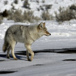 Stock Photo: Coyote, Canis latrans,