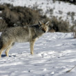 Coyote, Canis latrans, — Stock Photo