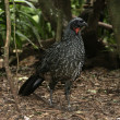 Dusky-legged guan, Penelope obscura — Stock Photo