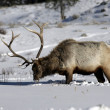 Elk, Cervus elaphus — Stock Photo #34225821
