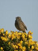 Dunnock or hedge sparrow, Prunella modularis, — Stock Photo