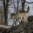 Grey wolf, Canis lupus — Stock Photo #34399459