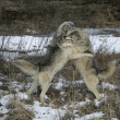 Grey wolf, Canis lupus — Stock Photo #34399597