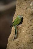 Hooded parrot, Psephotus dissimilis — Stock Photo