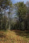 Hornbeam, Carpinus betulus — Stock Photo