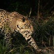 Jaguar, Panthera onca — Stock Photo