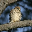 Kestrel, Falco tinnunculus — Stock Photo #34519439