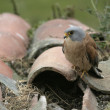 Lesser kestrel, Falco naumanni, — Stock Photo