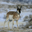 Pronghorn, Antilocapra americana — Stock Photo