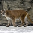 Постер, плакат: Puma or Mountain lion Puma concolor