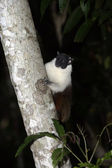 Pied bare-faced tamarin, Saguinis bicolour bicolour, — Stock Photo