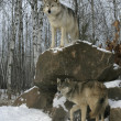 Photo: Grey wolf, Canis lupus