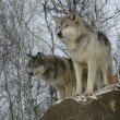 Grey wolf, Canis lupus                  — Photo