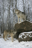 Grey wolf, Canis lupus — Stock Photo
