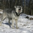 Grey wolf, Canis lupus — Stock Photo #34640019