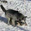 Grey wolf, Canis lupus — Stock Photo #34640047