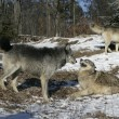 Grey wolf, Canis lupus — Stock Photo #34640075