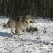Grey wolf, Canis lupus — Stock Photo #34640089